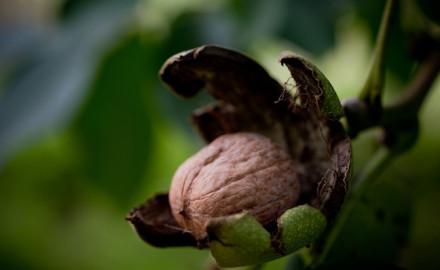 theft of walnut trees