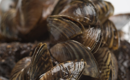 Since zebra mussels were first found in Texas in 2009, nearly a dozen lakes in five river basins