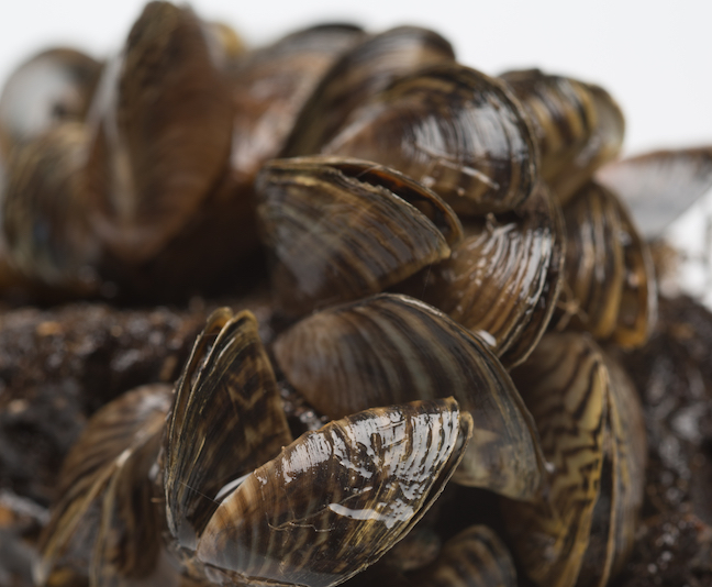 Zebra Mussels Spread to 11th Texas Lake