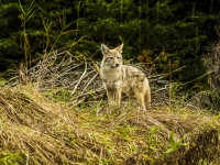 Coyote Calling