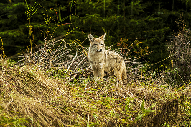 Call Our Complex Coyotes