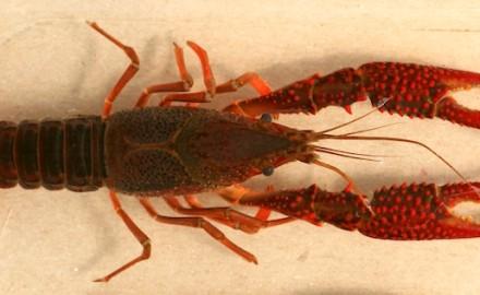 invasive red swamp crayfish