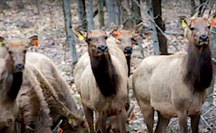 In its third year, Wisconsin's elk reintroduction effort included 31 relocated from the Bluegrass State.