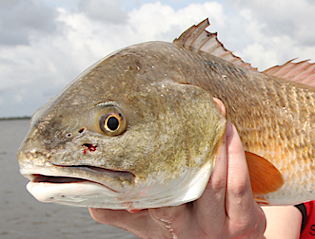 alabama redfish