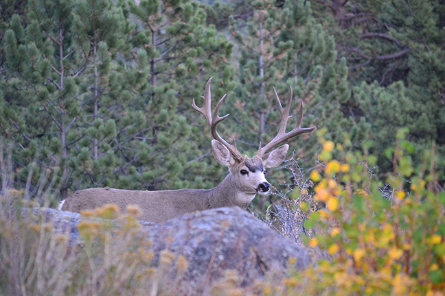 Mule deer on california public land game fish for Nevada game and fish