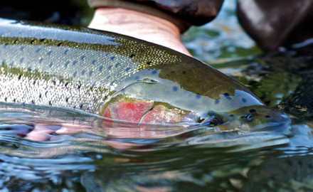 Trout and Steelhead fishing in New York in the Fall can be fast and furious. Here are some top New