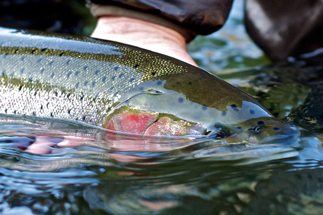 Trout and steelhead fishing in new york streams for Salmon river ny fishing map