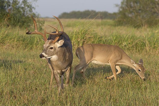 Whitetail Texas