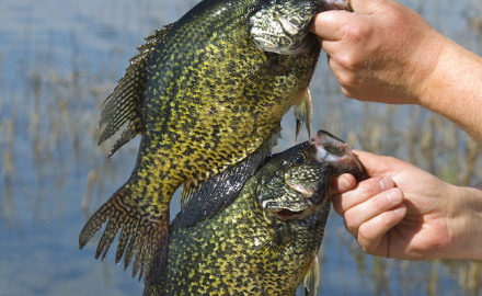 Get ready to get after Wisconsin fall crappie as they move from deep to shallow water.  By Ted