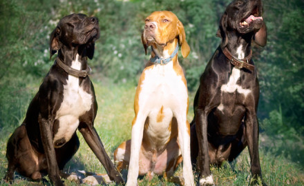 A panel of experts weigh in on key characteristics of great grouse hunting dogs.  By Brad