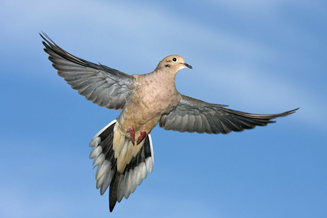 Improve Dove Odds With Timing, Practice, Shot Pattern