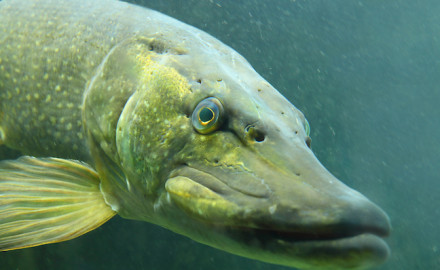 If you want serious September angling action in Minnesota, set your sights on predator fish