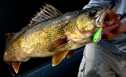 night walleye