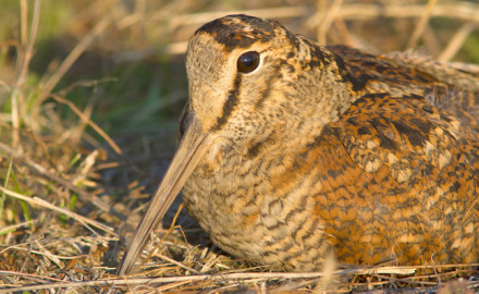 According to the New York Department of Conservation, sometime between Sept. 2 when the grouse