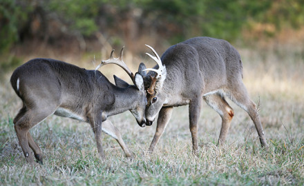 Photo By Ron Sinfelt  Despite fears of chronic wasting disease, Arkansas hunters are still taking