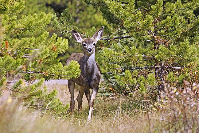 Northwest Blacktail Deer