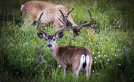 Northwest Mule Deer
