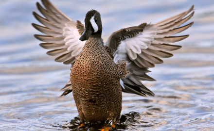Minnesota's waterfowlers will be duck hunting for these five species, and we know why.  If there