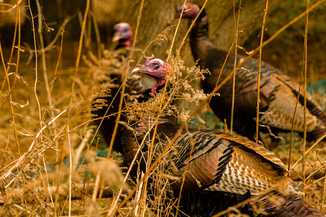 Virginia's Fall Turkey Hunting Outlook