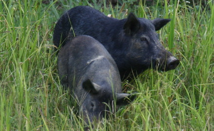 Hunting Wild Hogs New Rules To Control Population
