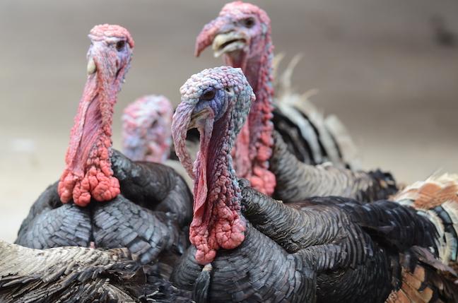 New England Fall Turkey