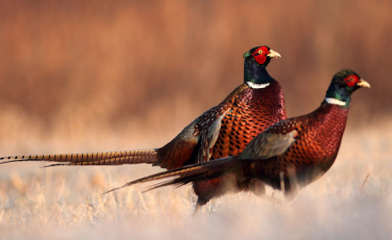 Is there anything more frustrating while pheasant hunting than trying to hunt roosters that