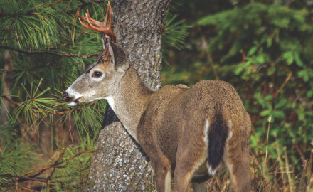 Rifle hunters looking for blacktail deer in California and the Pacific Northwest can tag out with
