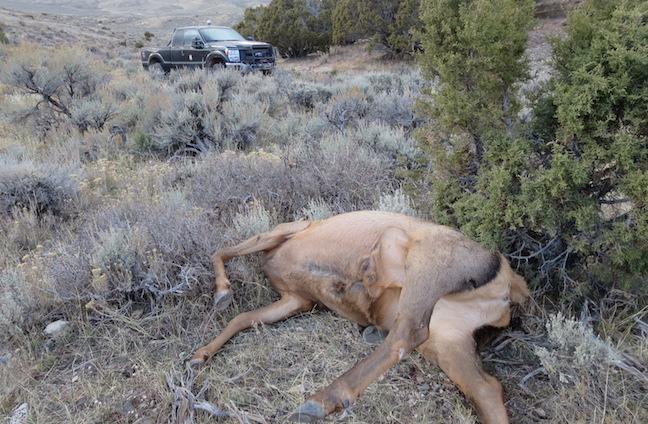 Poaching Updates: Elk, Mule Deer Probes, Bears Over Bait