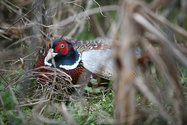 The Dakotas are among the top destinations for hunters looking to bag pheasants this season.