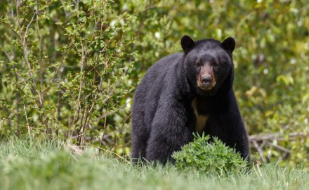 Virginia bear hunting