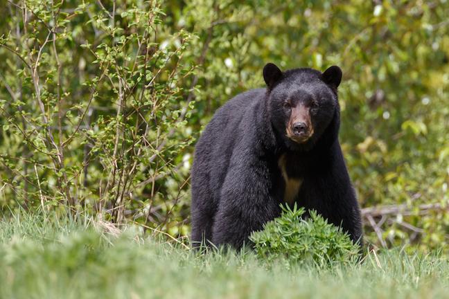 Virginia Bear Hunting Forecast 2017