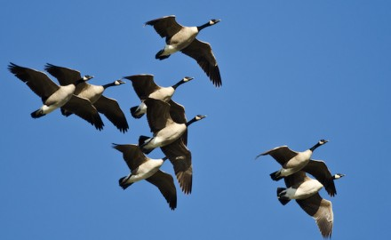 North Carolina waterfowl