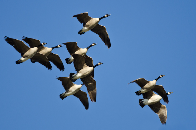 North Carolina waterfowl