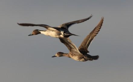 Lake Michigan waterfowl