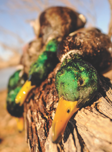 Best of Colorado Waterfowl Hunting 2017