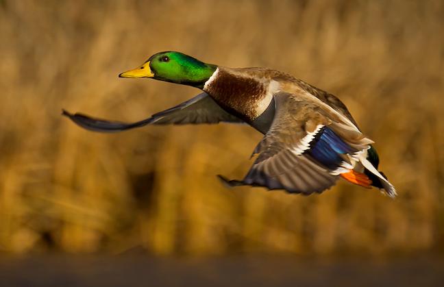 Missouri waterfowl