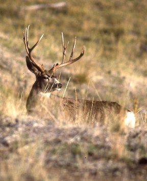 buck bowhunting