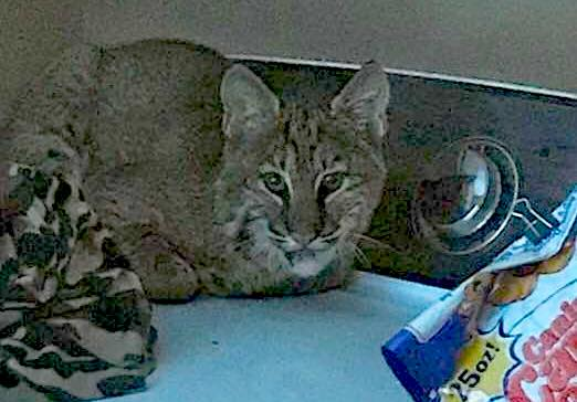 Rabid Deer Attack, Laundry Room Bobcat, CWD: State Outdoors News