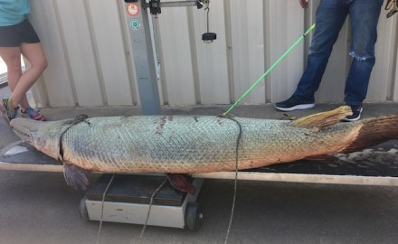 The recently caught Brazos River record alligator gar wasn't the biggest ever caught in Texas, but