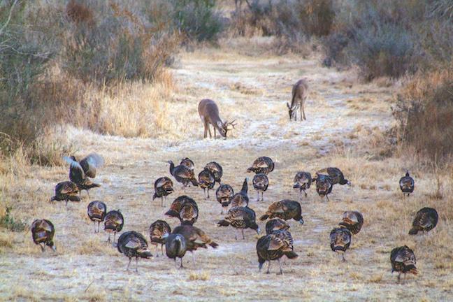 texas fall turkeys
