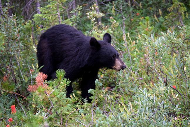 Bear Hunting In Pennsylvania