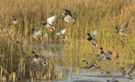 Below is a state-by-state look at a recommended public waterfowl hunting locations near you.