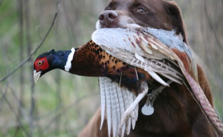 Pheasants are not as abundant as they once were in Minnesota, but they are there for the hunter
