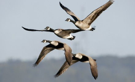 Canada geese are abundant in the Pacific Northwest. (Shutterstock image)