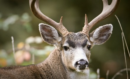 Cooler temperatures keep deer out and about for longer periods during the day. (Shutterstock