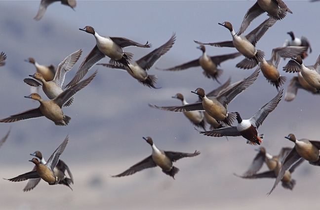 Illinois Waterfowl Hunting Outlook 2017