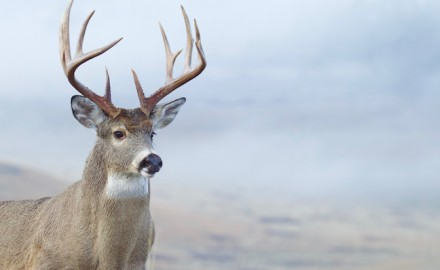 Minnesota muzzleloaders killed 8,250 deer last seson — 3,092 of them bucks. (Shutterstock