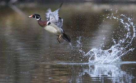 South Carolina waterfowl hunters must migrate like the birds they seek if they want consistent