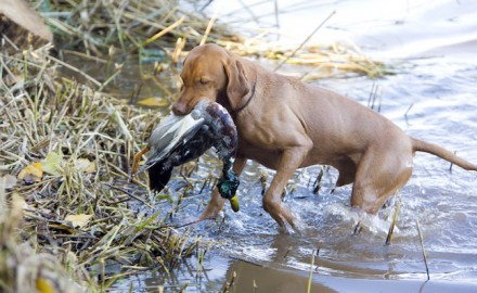 Our bird dogs give 100 percent, and often they don't know when to stop. We love that about