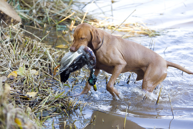 Tips to Keep Bird Dogs Safe in Cold Weather